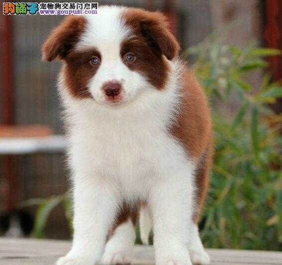 CKU认证犬舍出售/赛级边牧后代/幼犬/纯种健康质保