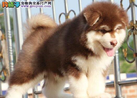 最大犬舍出售多种颜色阿拉斯加犬可签订活体销售协议