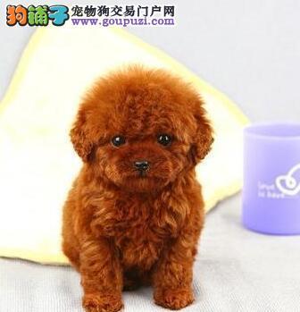 可爱贵宾幼犬出售 深圳实体店