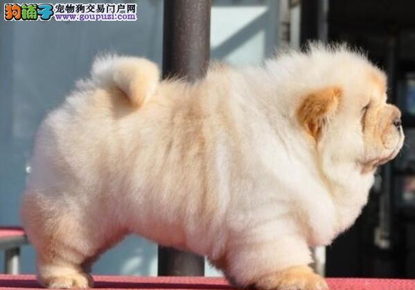犬舍直销品种纯正健康天津松狮签协议上门选