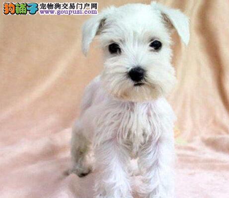 上海家养迷你型雪纳瑞幼犬 白胡子白眉毛品相好