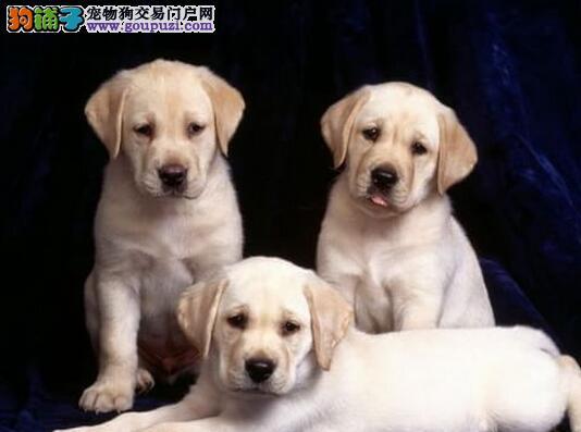 转让品相极佳的合肥拉布拉多犬 喜欢的朋友上门看狗