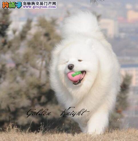 北京狗场低价出售雪白的萨摩耶 1~3窝幼犬任君选择