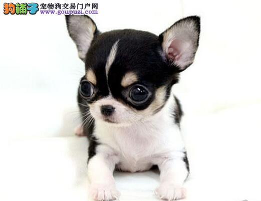 出售纯种大眼睛合肥吉娃娃宝宝 请您放心选购爱犬