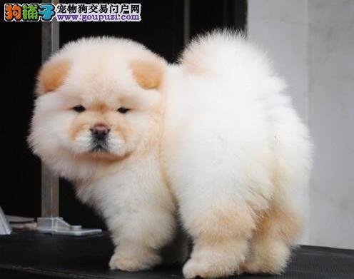 小肉嘴憨厚忠诚的松狮犬热卖中 徐州周边地区可送货