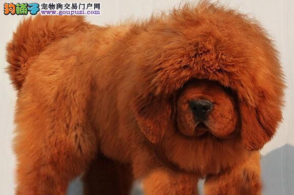 徐州犬舍出售纯正原生态血系的藏獒 欢迎参观选购