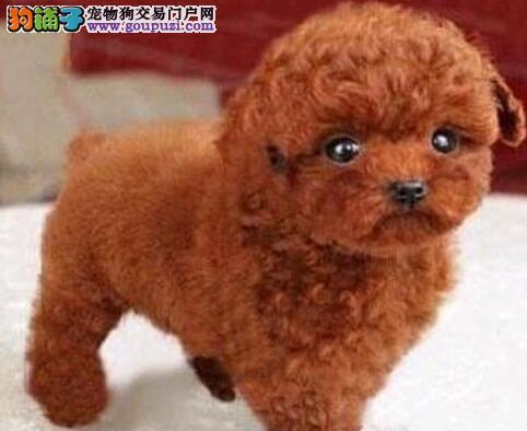 六种颜色疫苗齐全的徐州泰迪犬热卖中 无后顾之忧