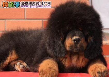 天津出售大狮头藏獒 犬中霸王 骨骼健壮