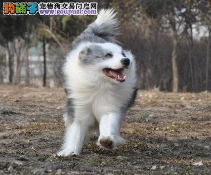转让七白到位广州边境牧羊犬 非诚勿扰有问题包退