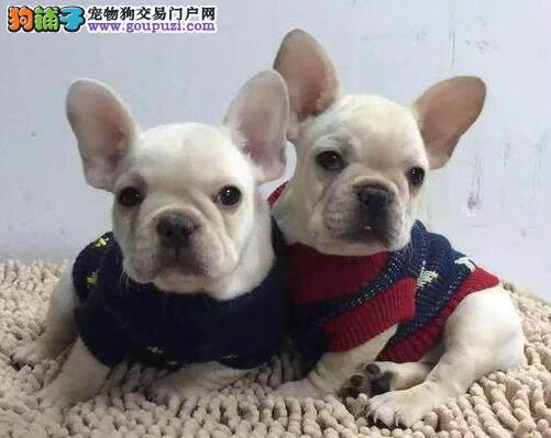 完美品相血统纯正邯郸法国斗牛犬出售可直接视频挑选