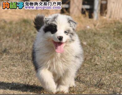 大型狗场直销多色上海边境牧羊犬 身体健康已做疫苗