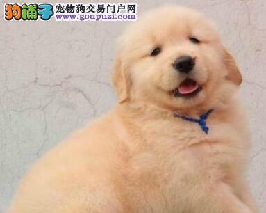 青岛大型狗场出售金灿灿的金毛犬 大骨量纯血统包售后