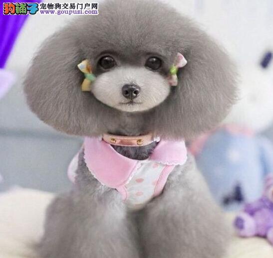 转让韩系哈尔滨贵宾犬 可来狗场看狗已做好进口疫苗