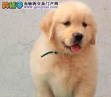 出售金毛幼犬、疫苗驱虫已做、三包终生协议