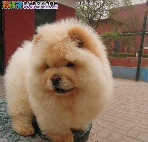 铜仁出售松狮幼犬品质好有保障金牌店铺有保障