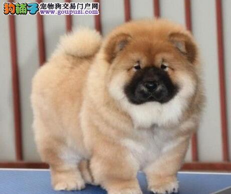 上海哪里出售松狮犬上海哪里卖松狮犬松狮犬照片