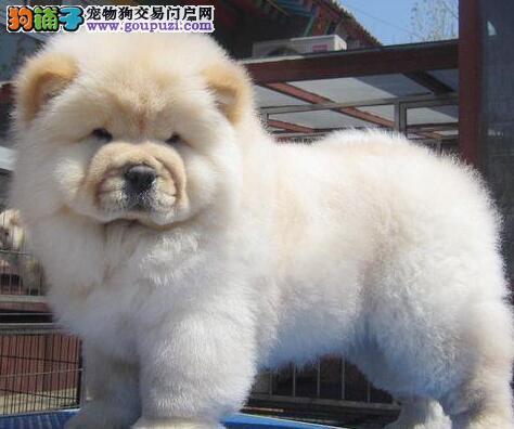 转让纯种大嘴紫舌松狮犬 西安专业狗场繁殖保证品质