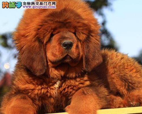 大狮头大骨架、吊嘴吊耳吊眼的南京藏獒幼犬特价出售