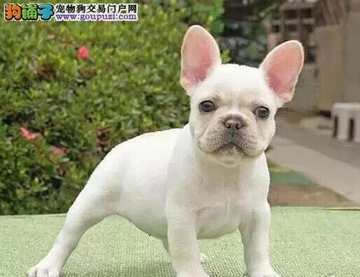 南京繁殖基地出售多种颜色的法国斗牛犬签订保障协议