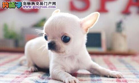 呼和浩特犬舍低价质保出售墨西哥系列顶级品质吉娃娃