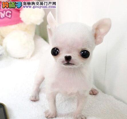 深圳正规狗舍出售超小体吉娃娃苹果头可爱至极