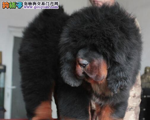 深圳知名獒园出售极品藏獒大骨架品质有保证