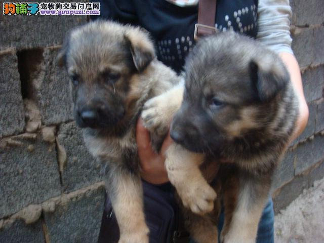 安顺哪里能买到纯种狼狗 狼犬安顺最近养狗场