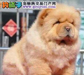 养殖场促销美系松狮犬台州地区购犬送狗粮