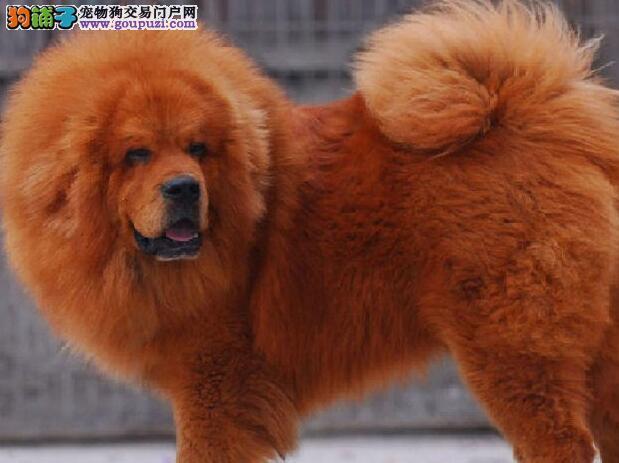 重庆直销超大型的藏獒幼犬 毛量足 四肢如柱 很迷人