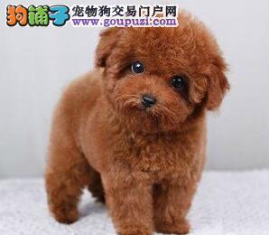 极品优秀品种韩系泰迪犬福州自家狗场出售 保证血统