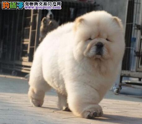 养殖基地出售精品南宁松狮犬 喜欢的朋友可以联系我