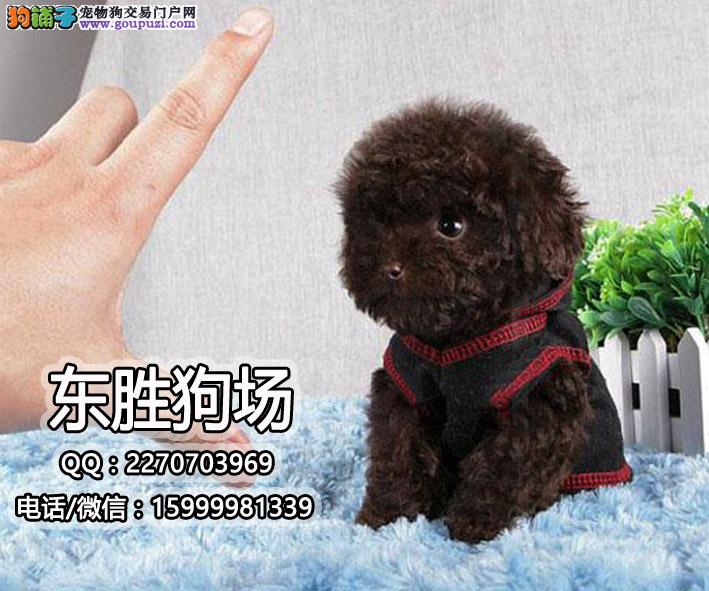 韩国纯种引进小体茶杯犬,口袋犬价格,茶杯犬大小