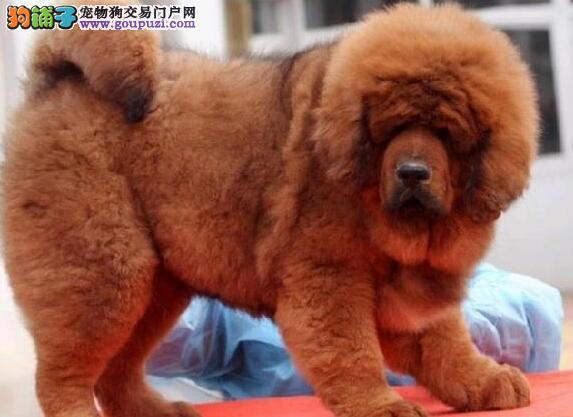 珠海獒园火爆出售帅气强壮的藏獒 请放心选购爱犬