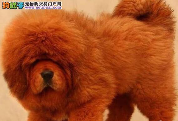 多种颜色的赛级藏獒幼犬寻找主人签协议上门选