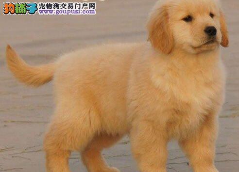 热销多只优秀的纯种金毛幼犬微信咨询视频看狗