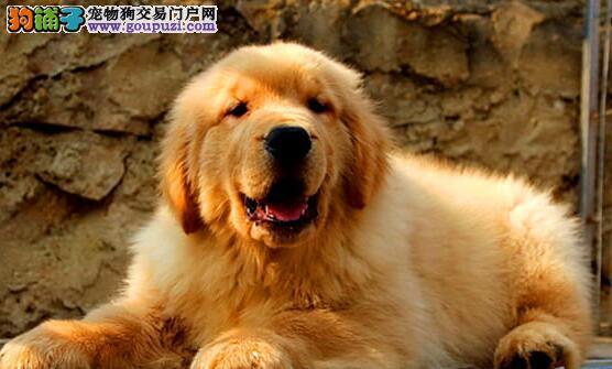 转让自家繁殖的沈阳金毛犬 毛色金黄 喜欢就不要错过