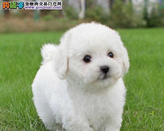 CKU认证犬舍 专业出售极品 泰迪犬幼犬均有三证保障