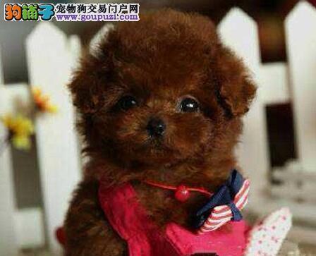 南京市出售纯种健康的泰迪犬 终身保障