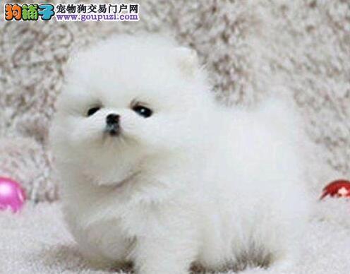 乌鲁木齐自家繁殖博美犬出售公母都有保终身送用品