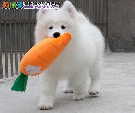 高品质萨摩耶转让 公母均有颜色齐全 提供养狗指导