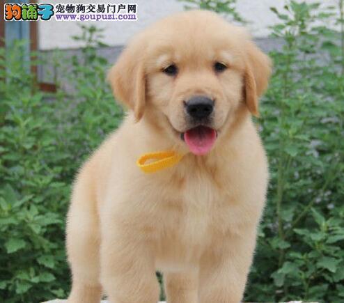 直销大骨架金毛犬 价格合理广州地区有实体狗场