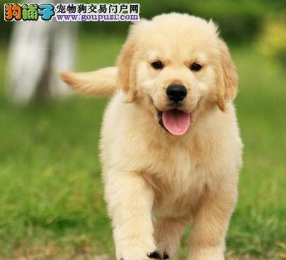 家养极品健康金毛犬转让武汉市内可上门看狗