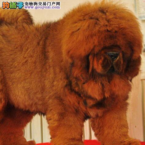 出售高品质纯种藏獒铁包金雪獒红獒幼犬特价