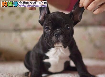 武汉自家繁殖法国斗牛犬出售公母都有可直接视频挑选