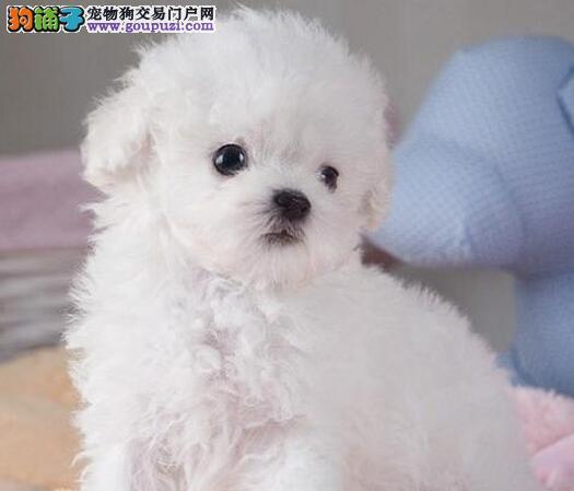 理想爱宠韩版萌系超小体泰迪长沙正在热销 品质保障