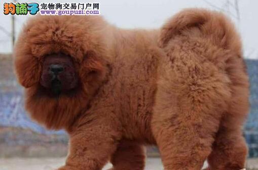 高品质狮头的武汉藏獒热卖中 品种齐全支持上门选购