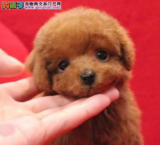 玩具纯正血统的昆明泰迪犬找新家 爱狗人士优先选购
