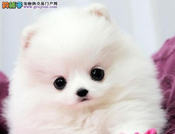 郑州自家繁殖的纯种博美犬找主人微信视频看狗