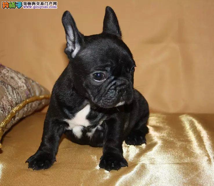 拉萨知名犬舍出售多只赛级法国斗牛犬上门可见父母