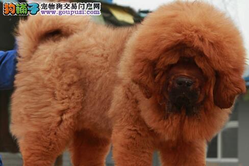 出售天津藏獒健康养殖疫苗齐全微信咨询看狗
